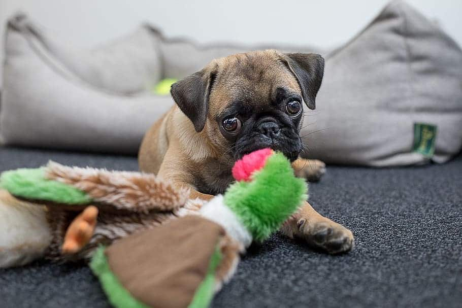 How to train a pug puppy not to bite