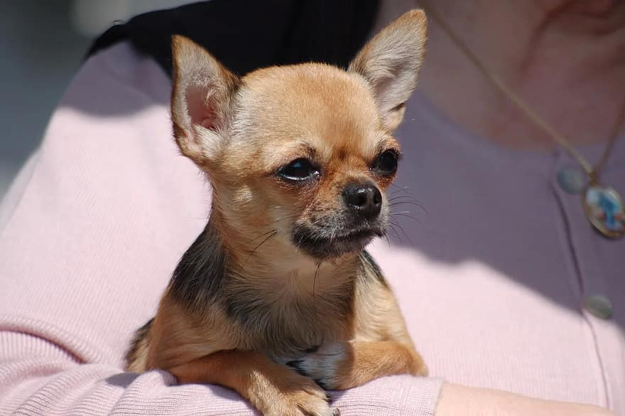 chihuahua watery eyes