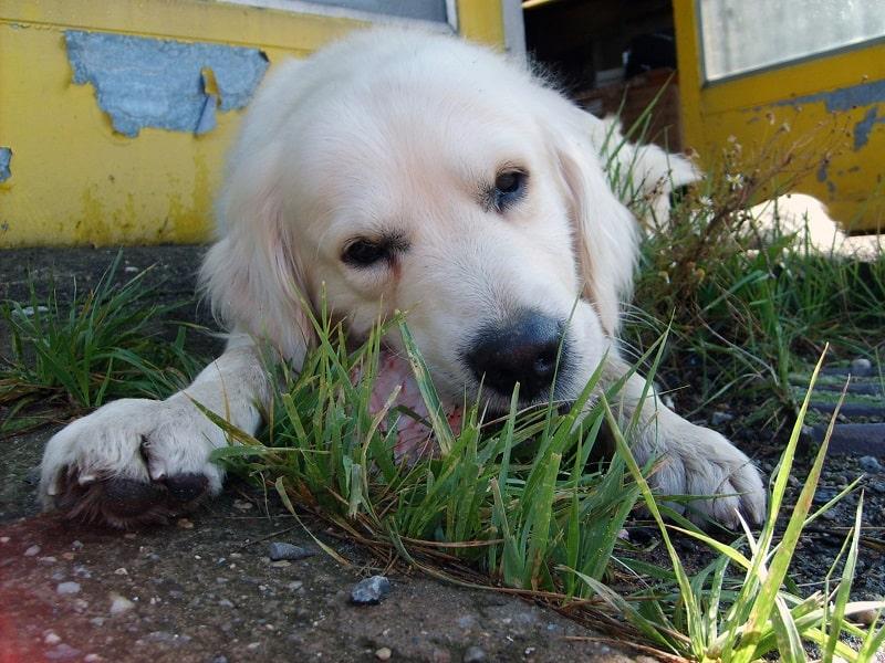dog licking grass