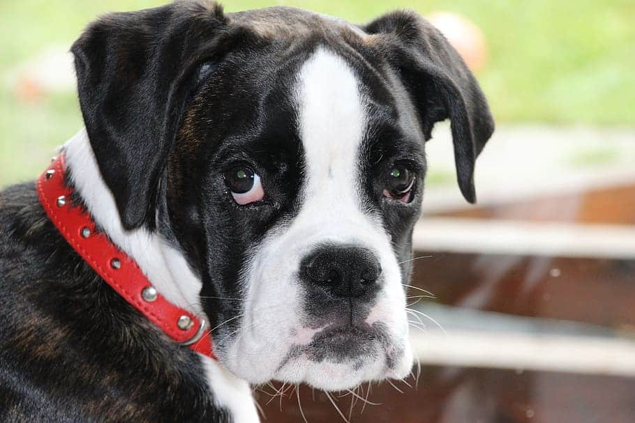 how to train a boxer puppy not to bite