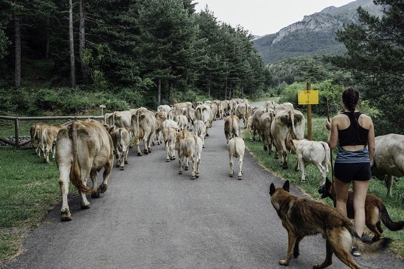 great shepherd dog