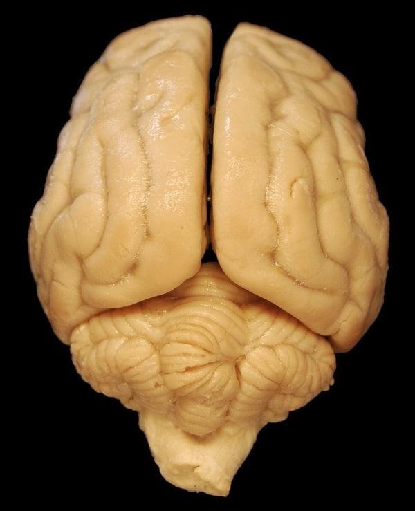 dog food for brain health