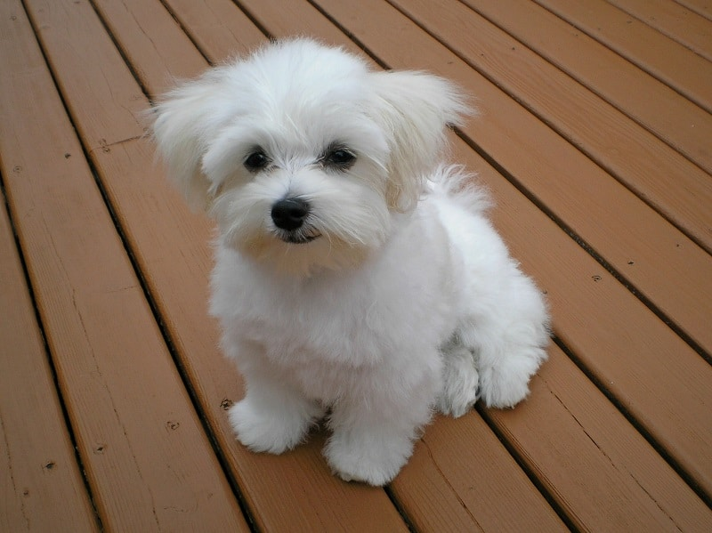 maltese dog health issues