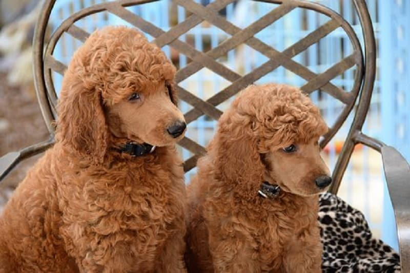 poodles health issues