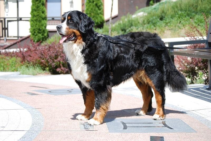 bernese mountain dog allergies