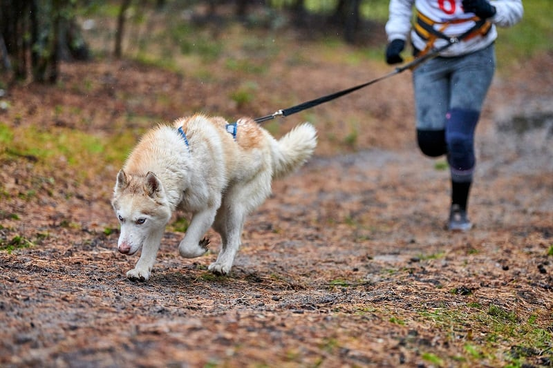 Choosing the right canicross harness
