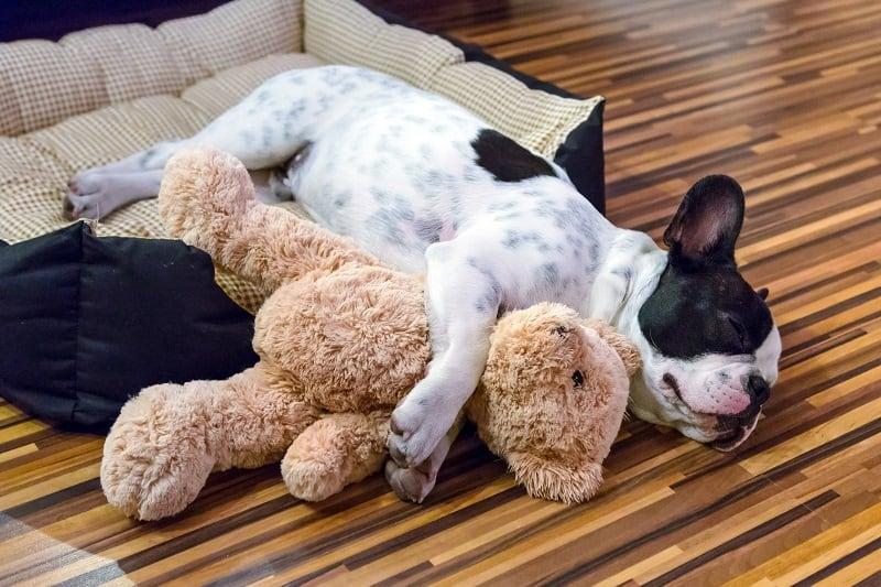 french bulldog is sleeping
