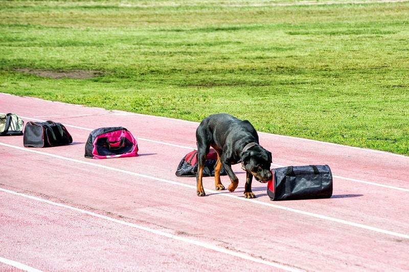 mantrailing dog activity