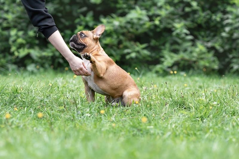 teach a french bulldog to give the paw