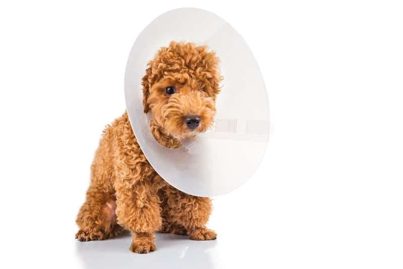 How long does a male dog have to wear the cone after neutering