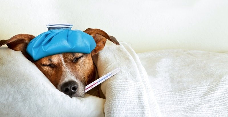 Possible causes of fever in dogs
