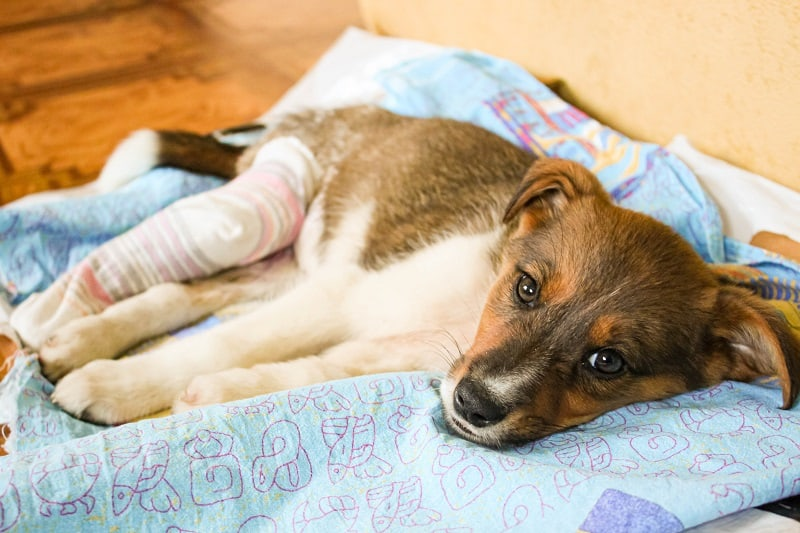acute pain in dogs