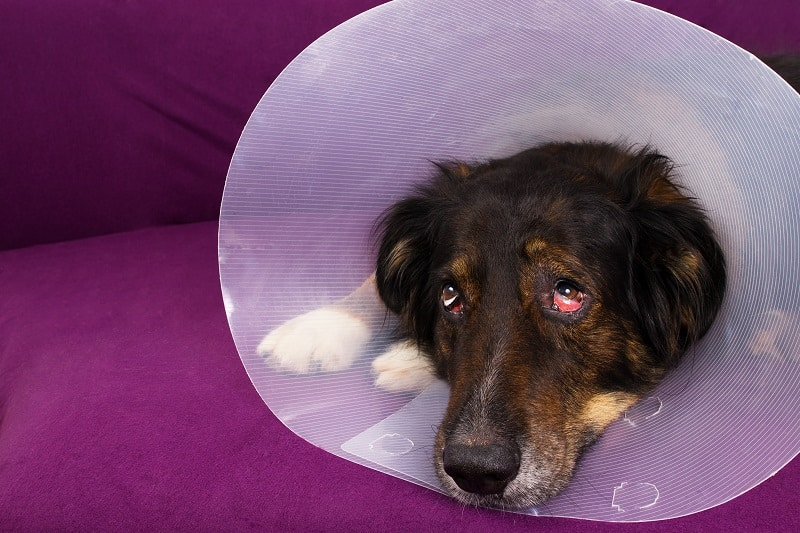 dog wearing a collar after castration