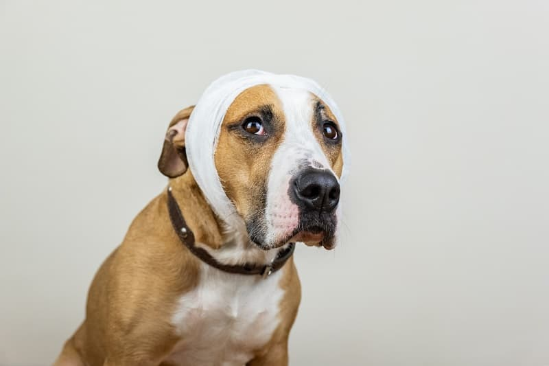 dog with bangage after surgery