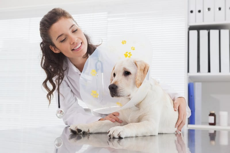 how long does a dog need to wear a collar after surgery