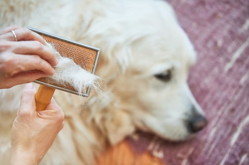 how much do golden retrievers shed