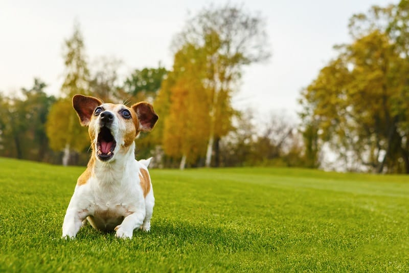 obedience of the barking dog