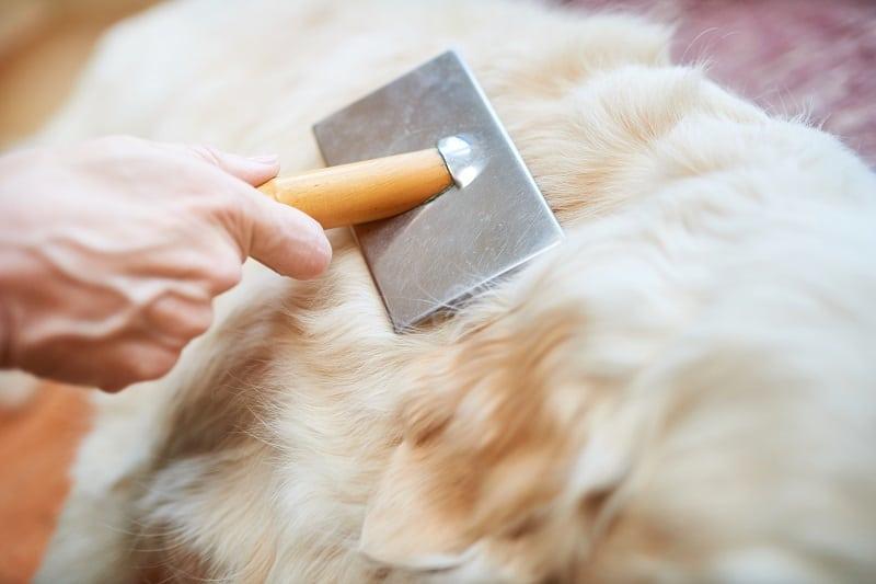 remove dead hair from coat of golden retriever