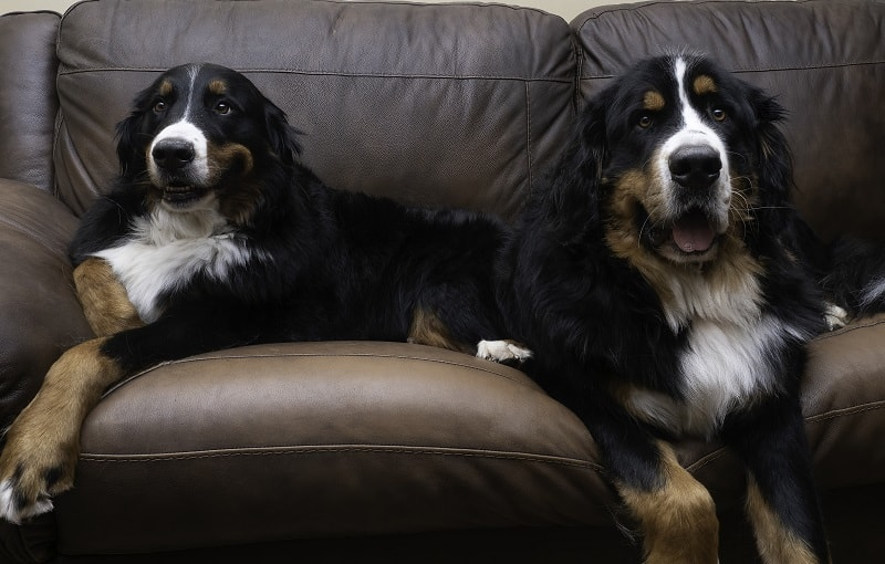 are bernese mountain dogs losing their hair