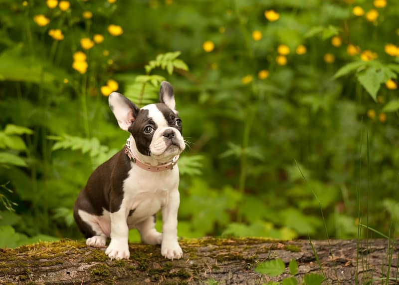 cute frenchie dog