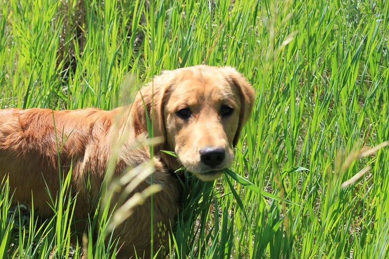 dog ingesting grass with pesticides