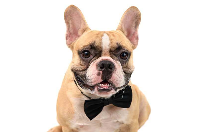 funny frenchie dog