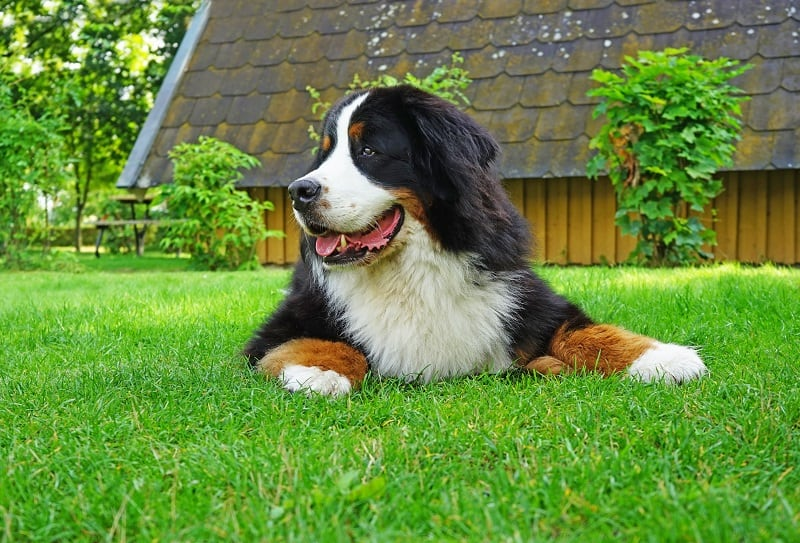 how much do bernese mountain dogs shed