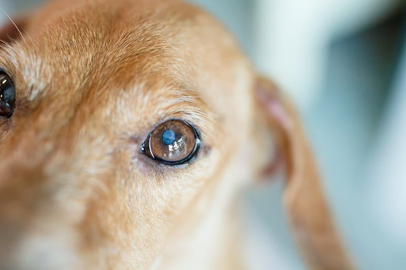signs of dog blindness