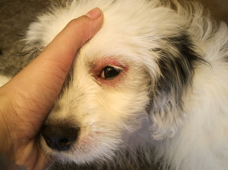 signs your dog is going blind