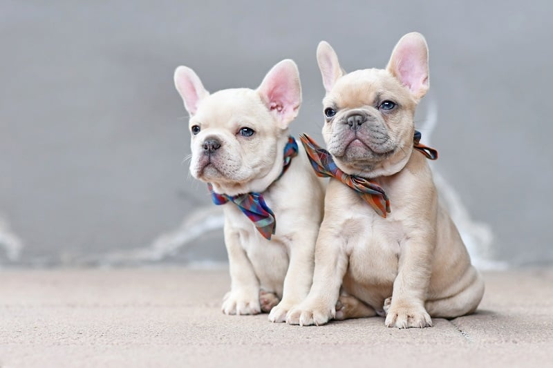 take good care of french bulldogs
