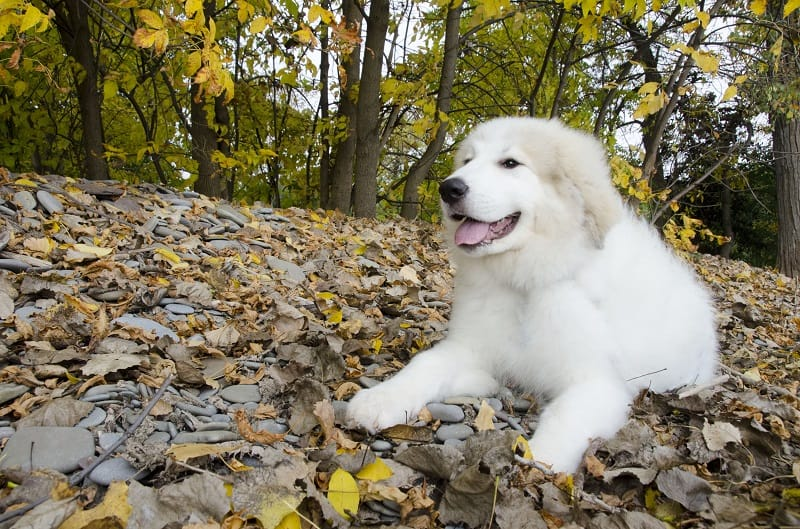 How to feed your Great Pyrenees puppy