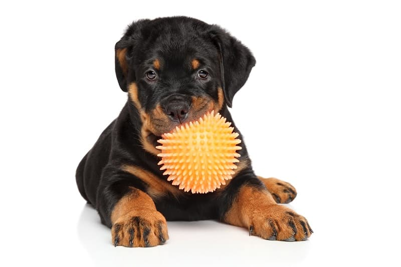 The ideal brush for the Rottweiler