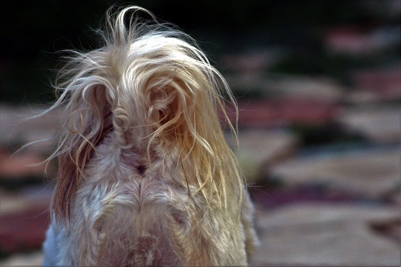 Treatment and prognosis of hemorrhoids in dogs