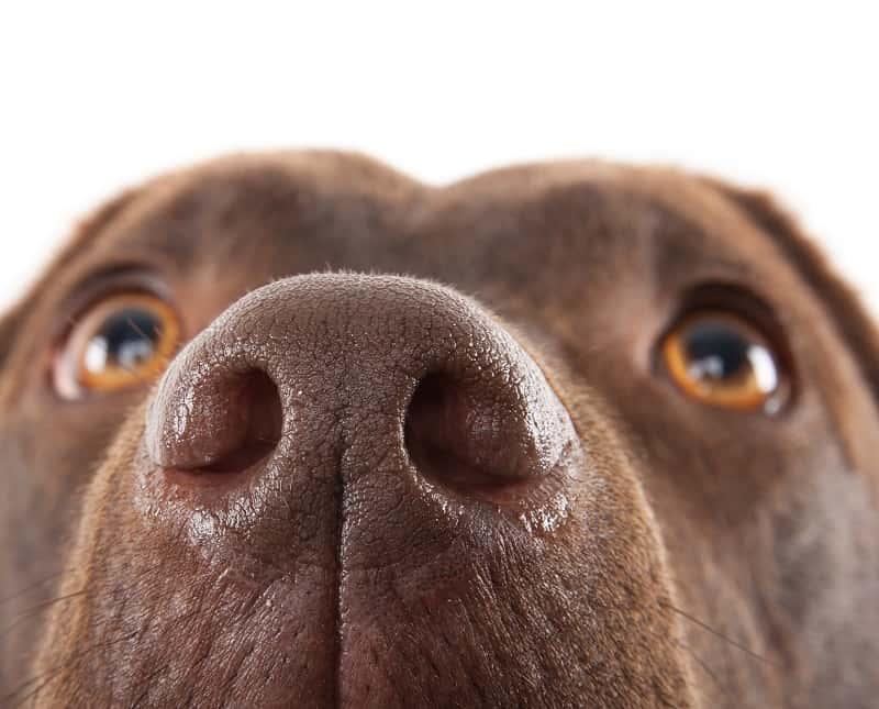 dog nasal pasage