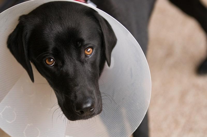 dog sterilization post recovery