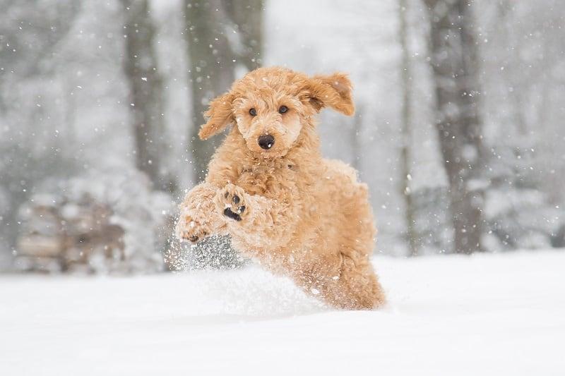 energetic poodle