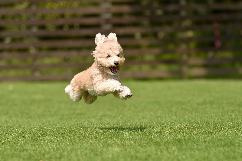 healthy poodle