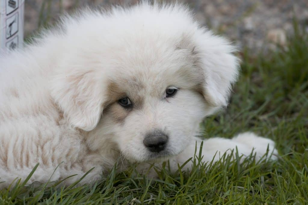 how much to feed a great pyrenees puppy