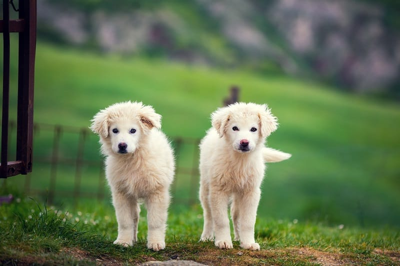 nutrients a Great Pyrenees puppy needs