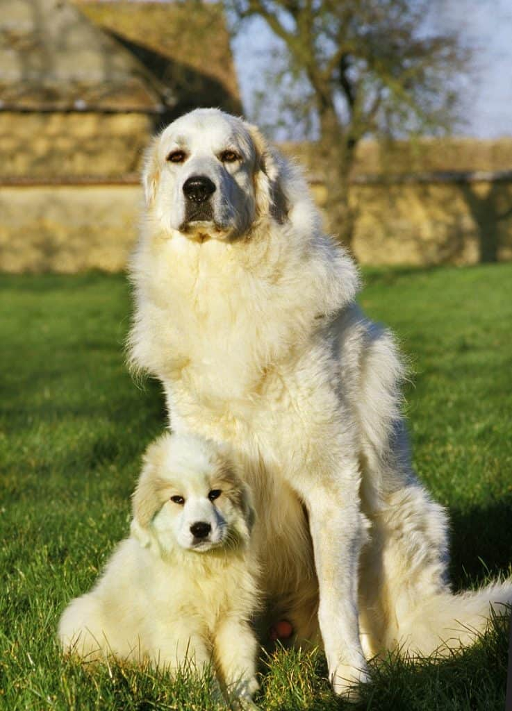 nutritional needs of your Great Pyrenees puppy
