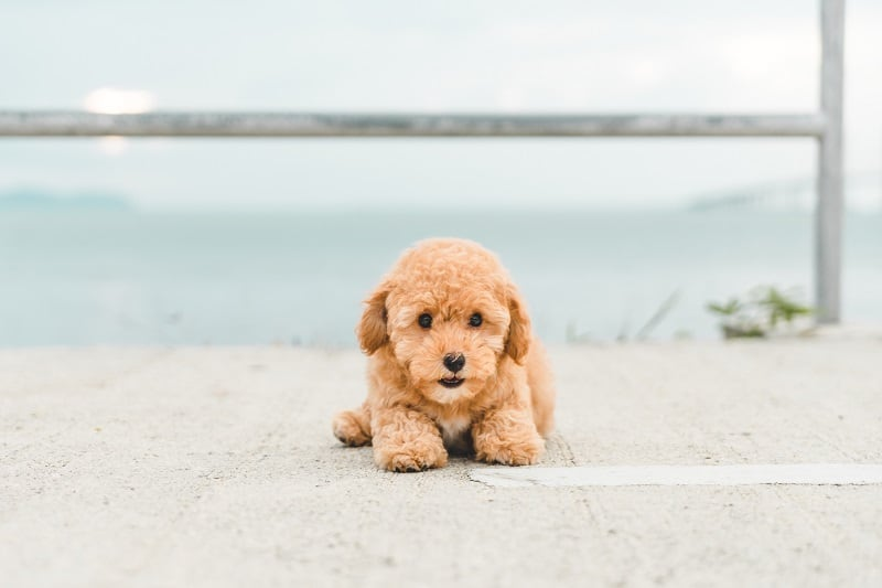 Brown puppy poodle resting on the road side