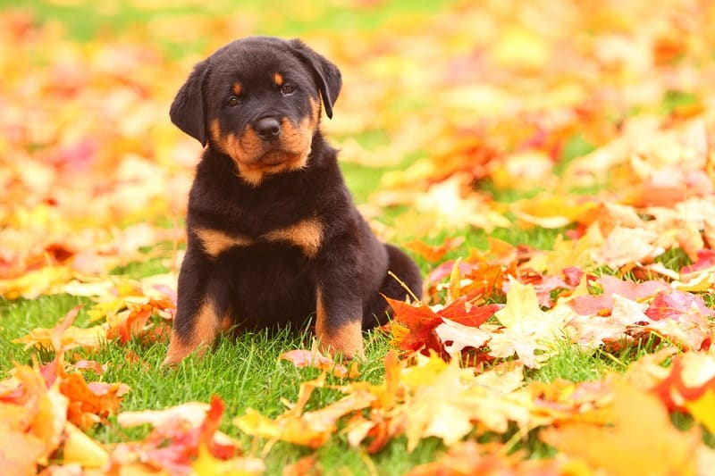 puppy rottweiler hanging out in the leaves