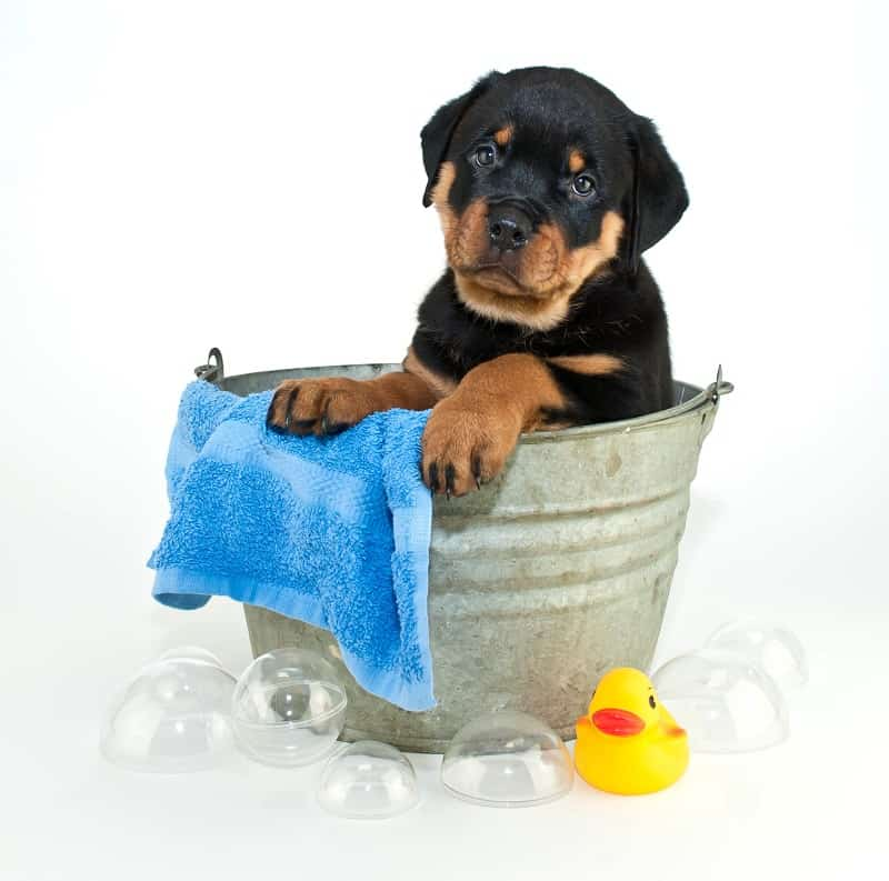 puppy rottweiler is bathing