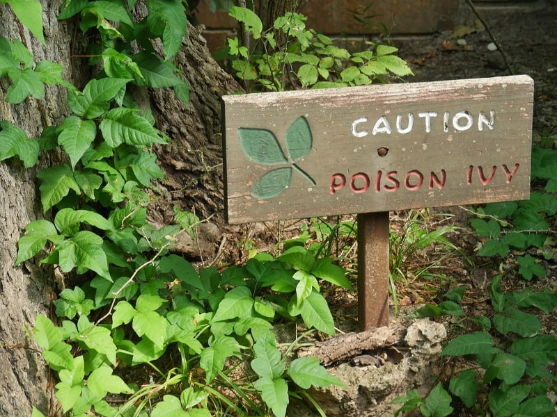 symptoms of poison ivy infection