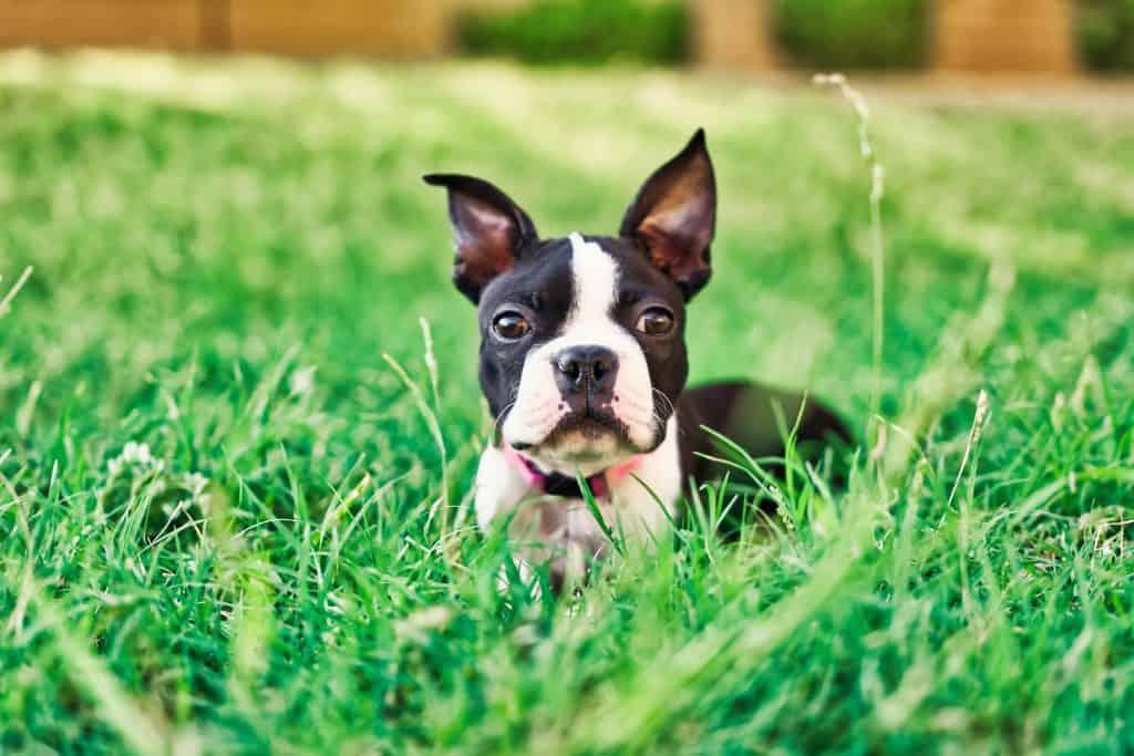 Boston Terrier hanging outdoors