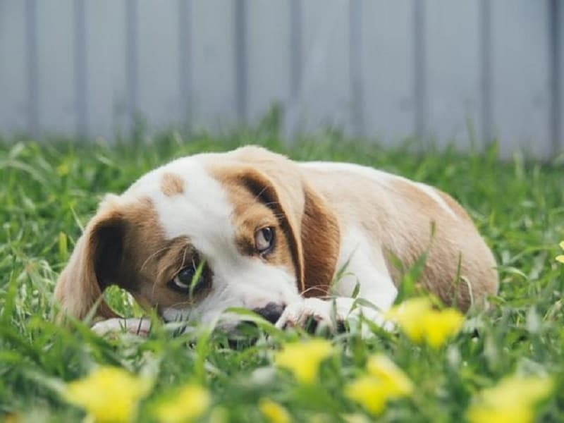 Causes of Pulmonary Hypertension in Dogs