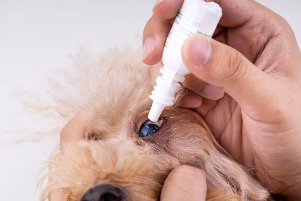 Cyclosporine Eye Drops For Dogs