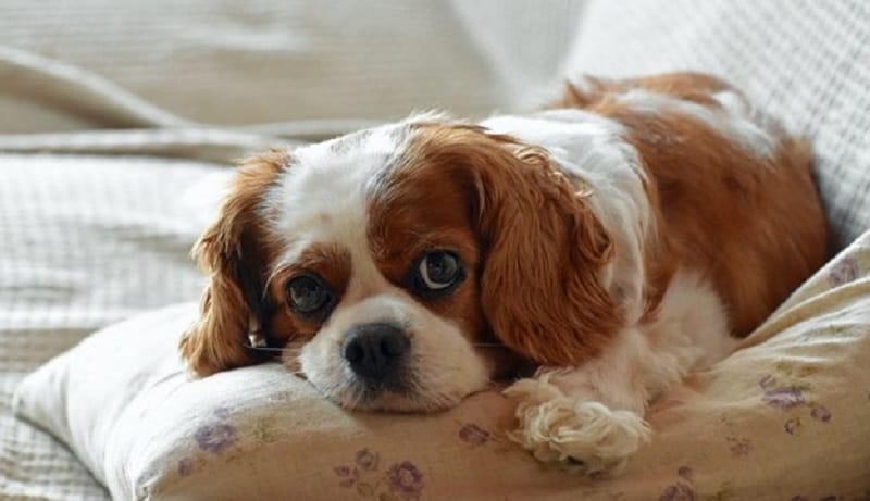 Symptoms & Signs of canine Pulmonary Hypertension
