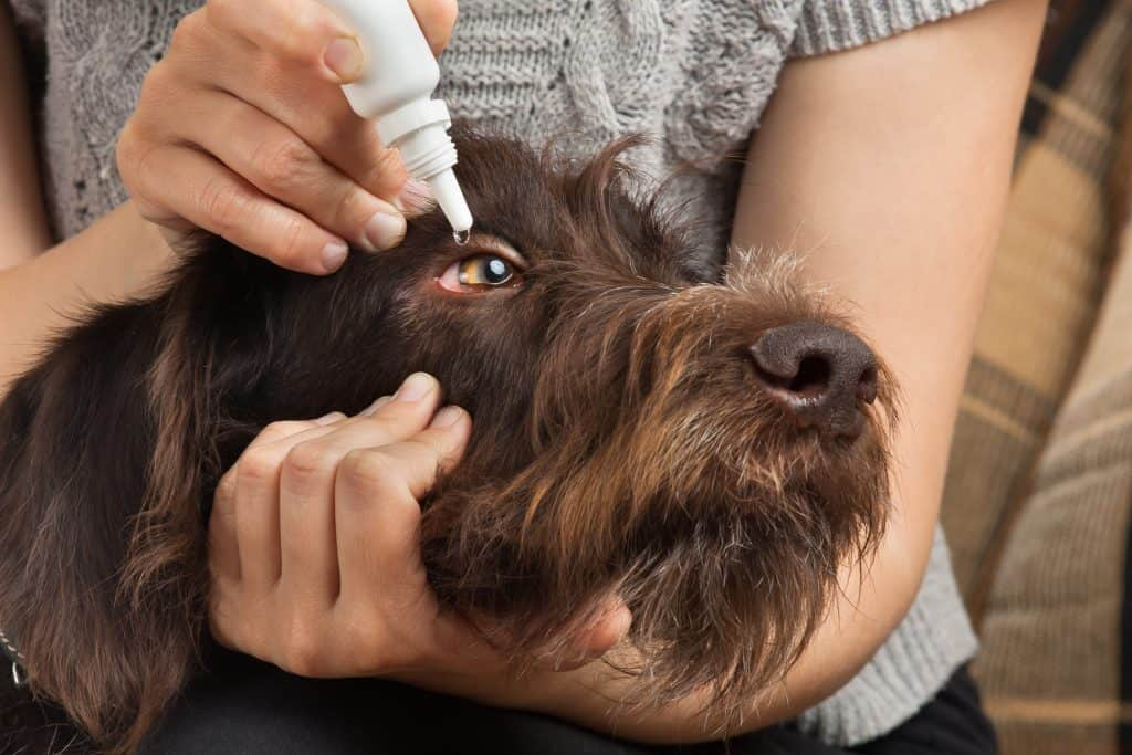 administer cyclosporine eye drops for dogs