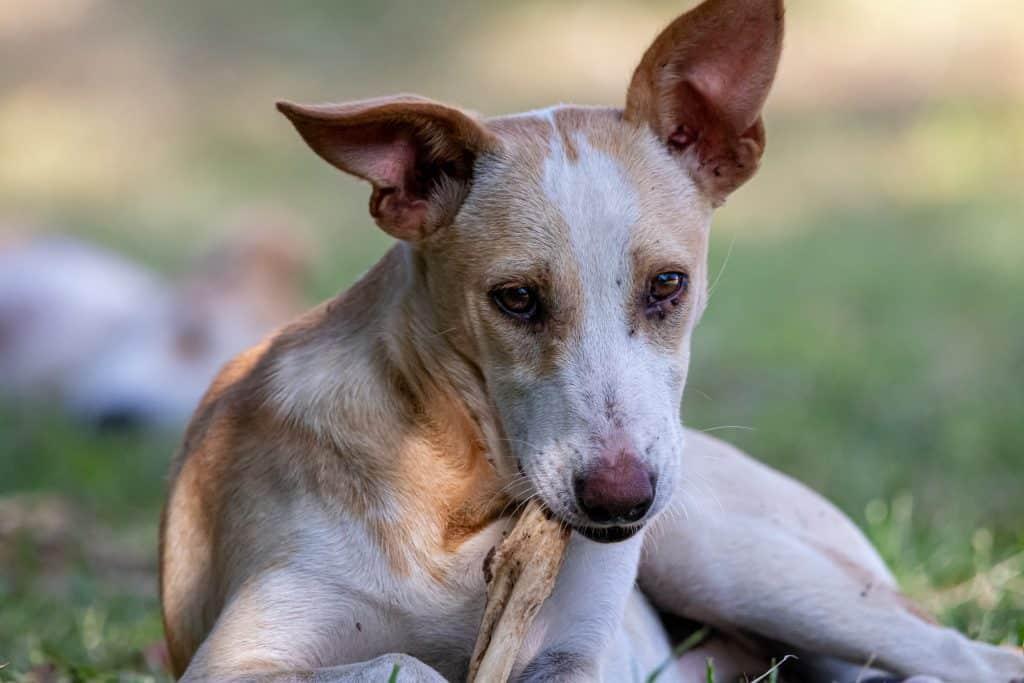 can dogs have pork rib bones